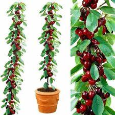 Cherry Seeds Home Indoor Fruit Dwarf Cherry Tree Seed Planting UK STOCK