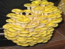 100 Organic Gold Oyster Mushroom Plugs--Grow Mushrooms on Logs! Spores Spawn.