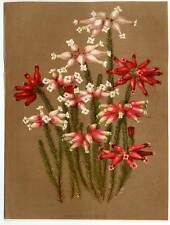 Blumen-Botanik-Erica-Heidekraut, orig.Lithographie 1890