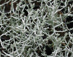 Calocephalus brownii 'Silver Sand' Cushion Bush Young Plant 9cm Pot