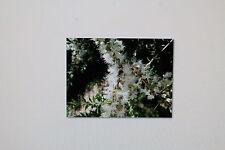 15 Semillas Kunzea ericoides,Blanco Árbol del té,#276