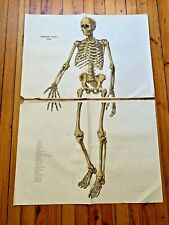 Vintage Human Skeleton Front Medical Anatomy Poster Wall Board Original 1959
