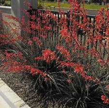 TEXAS RED YUCCA SEEDS - HESPERALOE PARVIFLORA - Hummingbird Favorite - 10 Seeds
