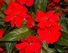 Impatiens Seeds 25 New Guinea Impatiens Seeds Florific Red