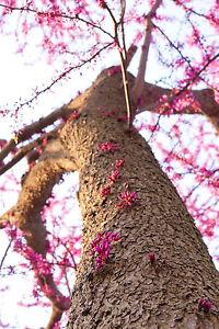 Cercis Siliquastrum / Judas / Love Tree / Redbud, 25-30cm Tall in 9cm Pot