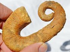 "8159x Heteromorph Ancyloceras Ammonite 117myo Fossil Creteceous 80mm LARGE 3.1"""