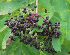 50 + seeds  elderberry , Sambucus nigra,  Sureau noir , 100% Naturel, NO GMO