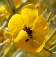 Gartenpflanze Zierbusch mit vielen leuchten gelben Blüten die i! SENNA !i