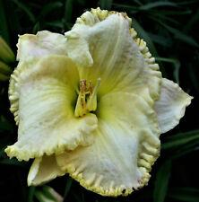 "Hemerocallis ""Light Motif"" Taglilie"