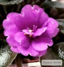 African Violet Tipped Honey - Starter Plant/Plug
