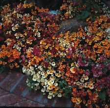 Flower - Nemesia Carnival Mix - 1000 Seed