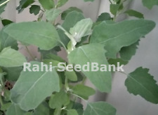 Tree Spinach, Boutta Shak - Amazing Plant Grows up to 2m in Height - 100 Seeds
