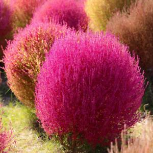 Kochia scoparia (Burning Bush Grass) 20 to 1,000 Seeds •RARE Garden Flowers | UK
