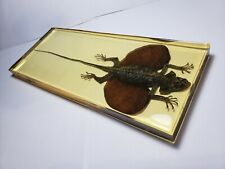 DRACO FIMBRIATUS HENNIGI. Real indonesian lizard immortalized in yellowish resin