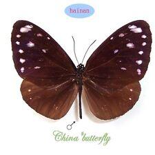 collection unmounted butterfly Danaidae Euploea tulliola hainana A-