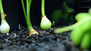 Water onion plant Zephyranthes Candida  3 Live Plants SUPER PRICE !!!!!