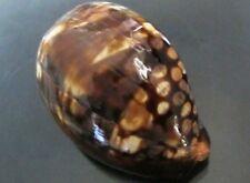 """Cypraea Mauritiana 71.8 mm """" young , BUT unusual PATTERN mauritiana , WOW!!"""