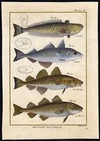 Antique Fish Print-GREATER WEEVER-HADDOCK-COD-ATLANTIC-Bonnaterre-1788