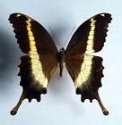 Papilio leucotaenia Männchen ex UGANDA   n33