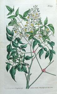 SACRED BAMBOO NANDINA DOMESTICA Asia Curtis Antique Botanical Vintage Print 1808