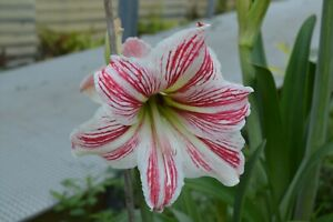 Hippeastrums-Candy Stripe (amaryllis-cultivars) 10 Reliable Viable Seeds