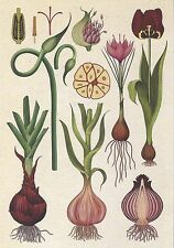 Postcard Botanical Drawing Kew Gardens Bulbs Saffron Crocus Tulip Onion MINT