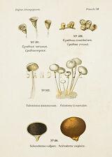"Dufour's Atlas of Mushrooms - ""CYATHUS SERICEUS"" - Chromolithograph - 1891"