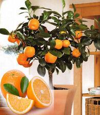 20 Edible Orange Fruit Tree Fresh Seeds, Home Bonsai Citrus Orange Tree Seeds