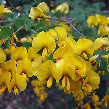 BACON AND EGG BOSSIAEA SEEDS BOSSIAEA RHOMBIFOLIA FLOWERING SHRUB 25 SEED PACK