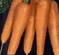 Heirloom DANVERS HALF LONG CARROT 3000 SEEDS Heavy Soils Sweet Stores Well