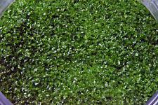 1412.01 - 1oz Light Aventurine Green Bullseye Glass Fine Frit 90 Coe Fusible