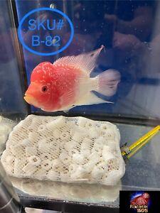 Live Flowerhorn Fish Golden Base Fader, 4.5 Inch, MONSTER KOK, SKU# B-82