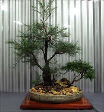 Bonsai Black She-Oak (Allocasuarina littoralis) 50 Seeds