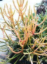 EUPHORBIA TIRUCALLI Esqueje Cutting Planta suculenta Succulent plant