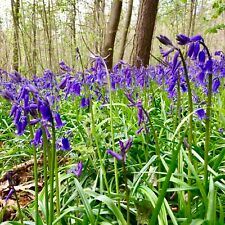 25 x English Bluebells Bulbs (In The Green) Spring Flowering Plants FAST & FREE
