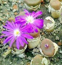 Conophytum koubergense RR1077 Kouberg  MG1426.5-  seeds 20 pcs