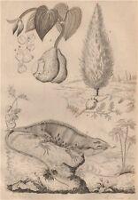 Taxus baccata (English Yew). Igname (Yam). Iguane (Iguana) 1834 old print