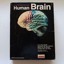 Human Brain Model Anatomically Accurate Plastic Model - Lindberg