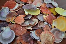40 Pcs Assort Color Pecten Nobilis Sentis Shell Craft #7421
