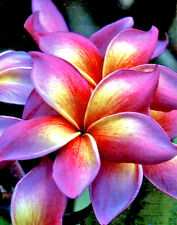 """Cutting of plumeria/Plants/""""Man eerung""""/12-15 inches"""