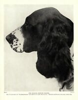 1930s Antique Springer Spaniel Dog Print Champion Worthing Suspense 3534-L