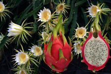 DRAGON FRUIT Hylocereus undatus Pitahaya Fruit Production Green White Flowering