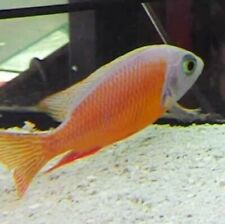 """Protomelas Taenious Albino Taiwan Reef African Cichlid 2.50""""+ group of 6"""