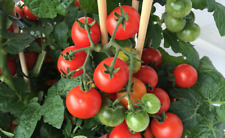Hardy Tom Tomato - A Large Cheery Type Fruit Fly Resistant Tomato - 10 Seeds