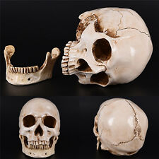 White Resin Replica Skull 1:1 Realistic Life Size Human Anatomy Halloween Decor