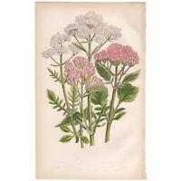Anne Pratt antique 1860 botanical print Flowering Plants Pl 102 Red Valerian