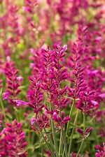 1800 Seeds of Hyssop Pink / Plant Grass Aromatic Oriental