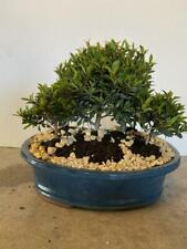 5 Tree Brush Cherry Planting bonsai