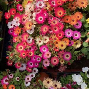 100 Mixed Pastel UK Mesembryanthemum Seeds Grow Coloured Garden Flowers Plants