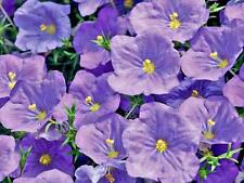 Nierembergia Purple Robe Seed Pretty Perennial Groundcover Purple cup Flowers